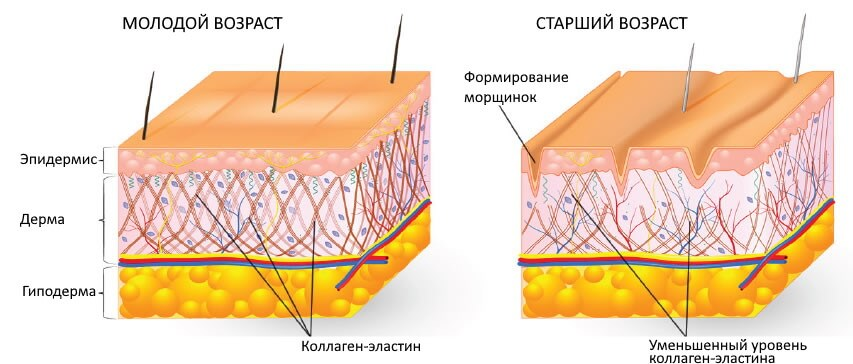 Структура кожи и коллаген-эластиновые волокна